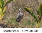 asian openbill scientific name  ...   Shutterstock . vector #1295289289