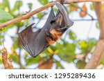 the bat is in the mammal. there ... | Shutterstock . vector #1295289436