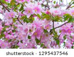 spring blooming sakura trees....   Shutterstock . vector #1295437546