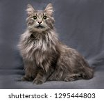 beautiful fluffy gray nibelung... | Shutterstock . vector #1295444803
