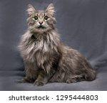 beautiful fluffy gray nibelung... | Shutterstock . vector #1295444803