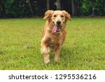 Stock photo  year old golden retriever running on open field 1295536216