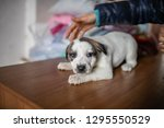 cute spotted puppy lying on the ... | Shutterstock . vector #1295550529