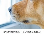 close up of a dog's snout... | Shutterstock . vector #1295575360