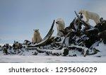 Three Polar bears climbing on snow covered whale bone pile on Barter Island Kaktovik Alaska