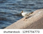 Beautiful White Seagull With...