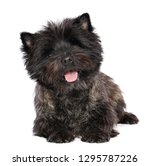 cairn terrier dog on isolated... | Shutterstock . vector #1295787226