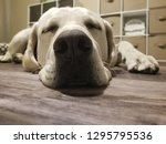 forget cat nap how about a dog... | Shutterstock . vector #1295795536