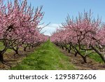 New England Peach Tree Blossoms in the Orchard during Spring Season