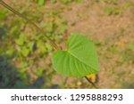 green leaves shape hearts of... | Shutterstock . vector #1295888293