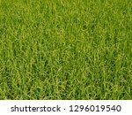 rice field while the at sunrise.... | Shutterstock . vector #1296019540