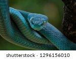 White Lipped Pit Viper (Trimeresurus insularis), Venomous Snake, Venom, Viper Snake, Blue Viper Snake