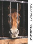 horse head behind bars with... | Shutterstock . vector #1296189499