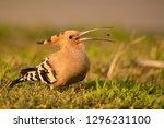 hoopoe in the grass | Shutterstock . vector #1296231100