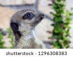 portrait of a cute meerkat or...   Shutterstock . vector #1296308383