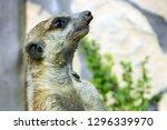 portrait of a meerkat or...   Shutterstock . vector #1296339970
