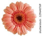 Colorful Gerbera Flower Head...