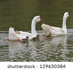 Family Of Geese Floating In Th...