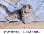 Stock photo portrait of a cute little grey scottish straight kitten 1296545050