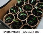 cucumber plant in seedling peat ... | Shutterstock . vector #1296616189