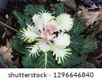 Ornamental Cabbage Plant...
