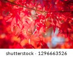 red maple leaves in autumn on a ... | Shutterstock . vector #1296663526