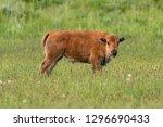 baby bison in field turns...   Shutterstock . vector #1296690433