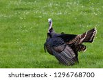 A Male Turkey Fluffing Its...