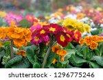 Multicolor Primrose  Primula...