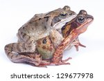 Frogs Mating On A White...