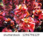 red leaves textures blackgrounds | Shutterstock . vector #1296796129