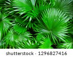 tropical leaf  lush foliage in... | Shutterstock . vector #1296827416