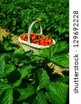 strawberries in a basket in the ... | Shutterstock . vector #129692228