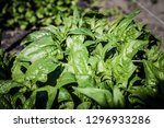 spinach growing from composted...   Shutterstock . vector #1296933286