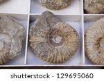 Group Of Fossilized Seashells...
