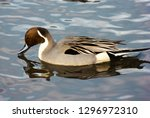 Northern pintail male duck ...