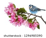 blue tit and apple tree branch... | Shutterstock . vector #1296985390