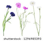 color cornflowers isolated on... | Shutterstock . vector #1296985393