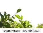 weeping fig leaves on bokeh... | Shutterstock . vector #1297058863