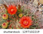 Very beautiful red claret cup cactus blossom and buds with awesome spines El Paso Texas 26 May 2007