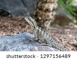 australian water dragon sits on ... | Shutterstock . vector #1297156489