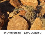 alhagi olso called camelthorns... | Shutterstock . vector #1297208050