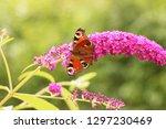 butterfly feeding on buddleia... | Shutterstock . vector #1297230469