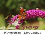 butterfly feeding on buddleia... | Shutterstock . vector #1297230823