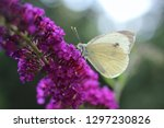 butterfly feeding on buddleia... | Shutterstock . vector #1297230826