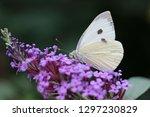 butterfly feeding on buddleia... | Shutterstock . vector #1297230829