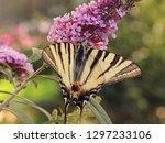 beautiful butterfly on... | Shutterstock . vector #1297233106