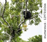 howler monkey in a tree on the... | Shutterstock . vector #1297310266