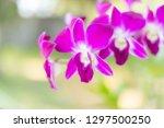 fresh crisp purple orchids... | Shutterstock . vector #1297500250
