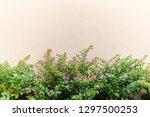 false heather or elfin herb... | Shutterstock . vector #1297500253